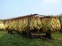 tobacco on a tobacco wagon