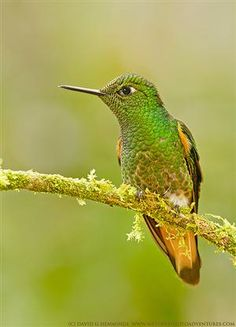 Buff-tailed Coronet 2 by Nature's Photo Adventures -...