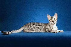 egyptian mau cats