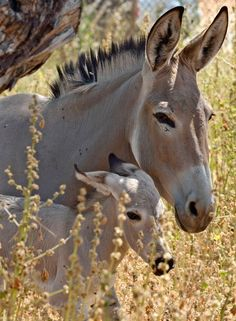 Rare Somali Wild Ass and Foal: http://www.zooborns.com/zooborns/2012/06/after-6-years-of-trying-isreals-ramat-gan-zoological-center-succeeds.html