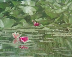 BOGO: Green Lily Pad Photography 8x10, Zen Art, Pond Photograph, Mint Green Pink Nature Decor, Water Lilies Picture. $30.00, via Etsy.