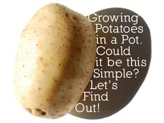 Growing potatoes in a container.