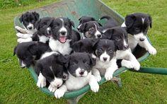 Barrow of puppies