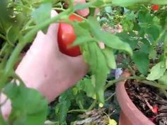 How to grow delicious tomatoes