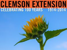 """For Patriot Day: """"You should be like a sunflower so that even on the darkest of days, you will stand tall and find the light."""" Photo by Peter Tögel. #ClemsonExt100"""