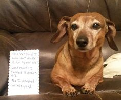 Can a dachshund cure cancer? Lucy Lui did - I Love Dachshunds