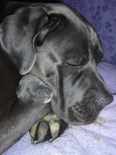 #Cane#Corso there is no better breed than this dog! Sweet and gentle