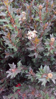 GROW IT!  Little Devil™ Ninebark has lovely deep burgundy foliage through the season & offers small white/pink clusters of flowers in June! This low maintenance, disease & pest resistant ornamental shrub is a MUST have! BONUS: Attracts butterflies! Height: 3-4′/Width: 3-4′; Hardiness zone: 3-7 ✿✿✿