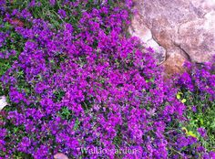 Creeping Red Thyme. One of those perfect plants: ground-cover herb, fragrant, evergreen, useful in boulder & rock gardens or between pavers, and how about letting it spill over the side of a hanging herb basket? Tough plant! aux herb, herb hanging baskets, evergreen herbs, creeping red thyme, plants, gardens, herb basket, rocks