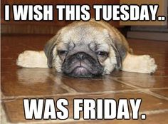 Goes for Monday, Wednesday, and Thursday, too!  #puppy #cute #dogmeme puppies, anim, dogs, mondays, funni, pug puppi, pugs, friday, quot