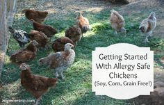 getting started with allergy safe chickens (Soy, corn, grain free)