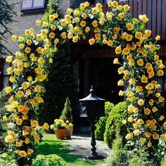 Yellow climbing roses on an arbor.