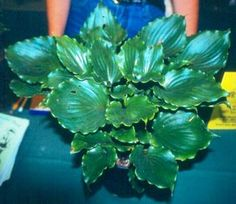 Candy Dish Hosta