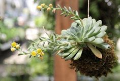 DIY Garden Hanging Kokedama Plant