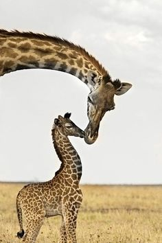 giraffe & baby