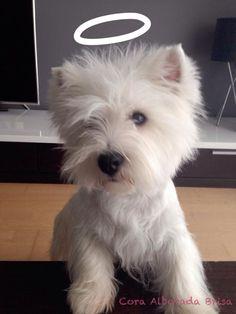 Westie Puppy For Sale Dogs Trust