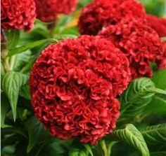 red coxcomb