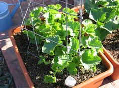 Growing cantaloupe in a container. Good tips here.