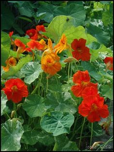 Nasturtium at work in the garden