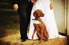 WOOF :)  bride groom and Zeke vizsla red weimreiner wedding jayeads.com