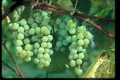 "One of the hardiest and most disease-resistant of the ""white"" grapes, this Elmer Swenson release produces lots of highly flavorful golden fruit that makes a delicious sweet white wine, and is highly regarded as a table grape. It is recommended not to let it over-ripen on the vine, or it loses its flavors."
