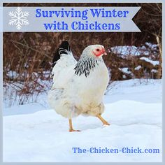 Surviving Winter with Chickens- a comprehensive look at coop preparations and chicken comfort in cold temperatures.