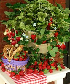 Take a look at this Improved Titan Strawberries - Set of 25 by Cottage Farms Direct on #zulily today!