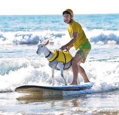 Crazy Goat Loves Surfing... click thru to catch the whole photo stream