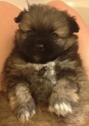 Chunky Monkey is an adoptable Pomeranian Dog in La Mirada, CA. Chunky Monkey is a 6-week-old Pomeranian (mixed or purebred-we are not sure) puppy. He will be available to adopt at 8 weeks old. He is g...
