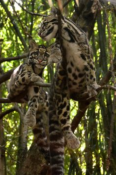 Look at the size of those tails !  Margay Cats