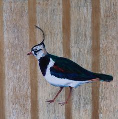 Lapwing, ... also known as a peewit, or green plover