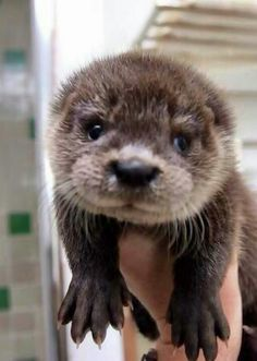 Who knew baby otters were so adorable?!