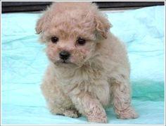 poodl, kitten, little puppies, toy, teacup puppies