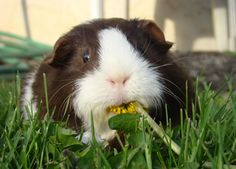 Oh hai there, I'm just enjoying a lovely spring mix salad featuring dandelions :) #cute #guinea #pig #eating #pets #animals #food #grass #dandelion