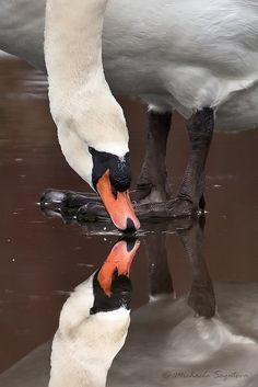 Mute Swan by Michaela Sagatova