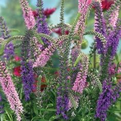 """Veronica -   Common Name: Sightseeing  Zones: 4-9  Germination Temp: 65-75º  Plant Height: 24-28"""" inches  Flower Width: 3-10"""" inch spikes"""