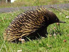 Echidna in Australia