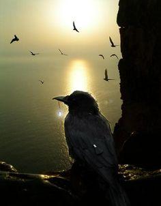 Crows Ravens: #Crow.