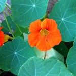 Edible flowers: not just for pansies - Jamie Oliver | Features