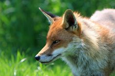 HELP SAVE FOXES FROM CRUEL TRAPPING! A local trapper has gone on record stating that the foxes will likely be of no danger to people or pets. Urge Mayor Guy Pilon to consider other options before jumping to any conclusions! PLZ Sign and Share!