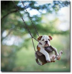 Buster the baby English bulldog in a kiddie swing.   photo by: photographer Ron Schmidt