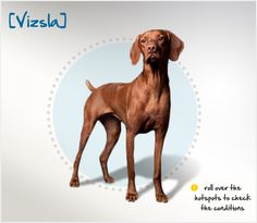 Did you know the compact and muscular Vizsla originated in Hungary, where they were used as hunting dogs for rabbits and waterfowl? Read more about this breed by visiting Petplan pet insurance's Condition Checker!