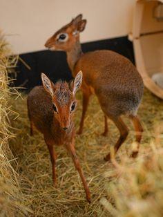Neo is still a bit nervous and jumpy around other dik-diks, but Aluna is teaching him to be brave. | There Is A 20-Centimetre Antelope At Chester Zoo