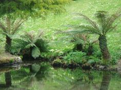 reflect tree, tree fern
