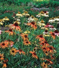 Coneflowers - one of the perennial flowers that actually lasts.