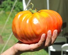 Saving your own tomato seeds for next years garden. Some steps to follow.