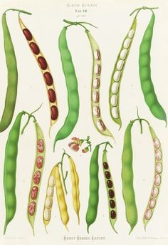 Bean Botanical illustration - looks kind of like whatever the works on the lower right are