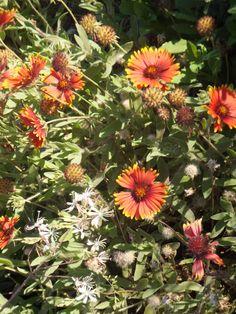 Gaillardia & Gaura - Desert Botanical Garden