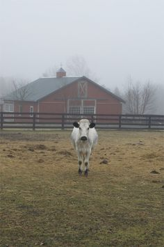 Luna from Juniper Moon Farm....poor baby is in heat, with no bull in sight!