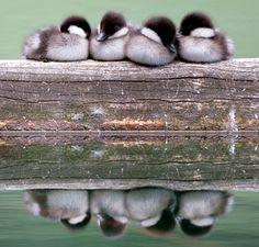 Baby Barrow's Goldeneye Ducklings.  So Cute!